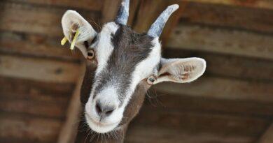 Czy mleko kozie dla niemowląt jest dobre?